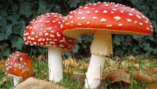 hongos toxicos